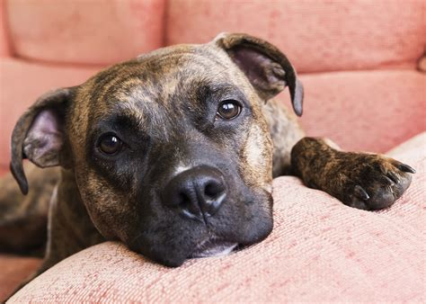 pits pictures montreal wants to ban pit bulls but has no evidence it will help