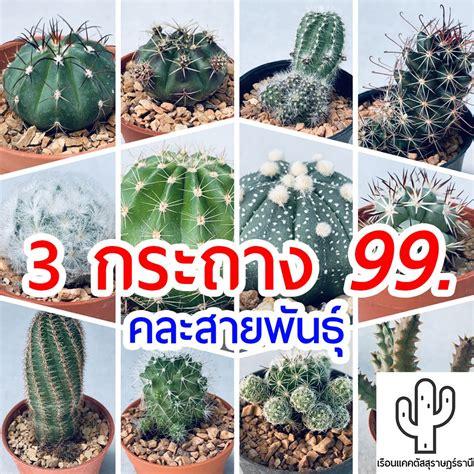 แคคตัส คละสายพันธุ์ 3 กระถาง 99 กระบองเพชร จากเรือนแคคตัสสุราษฎร์ธานี | Shopee Thailand
