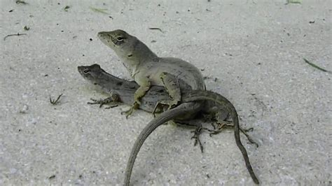 Lizard Mating
