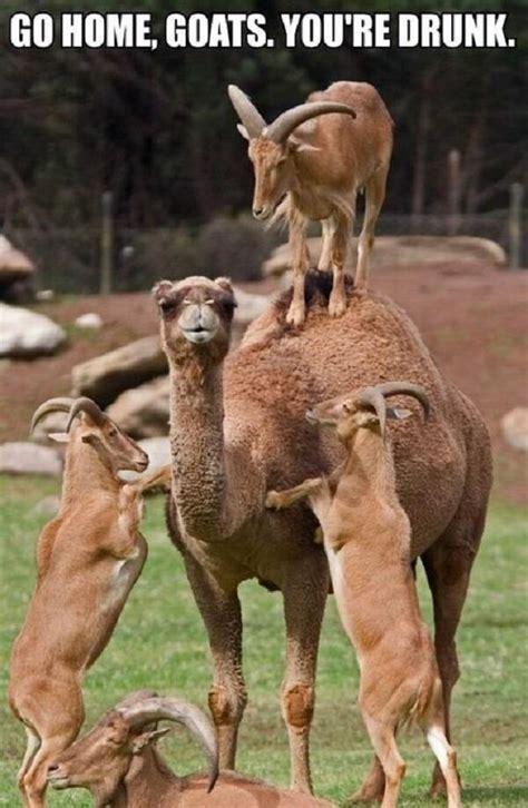 Camel Memes - camel inotternews com part 2