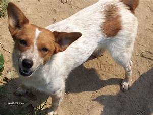 Cowdog Chronicles: Chama & Other Red Heeler Mixes