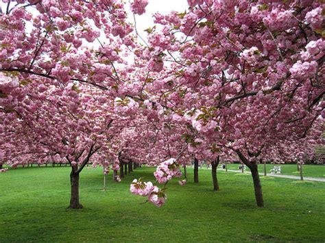 japanese flowering cherry tree buy bare root japanese flowering cherry tree online free uk delivery free 3 year tree warranty