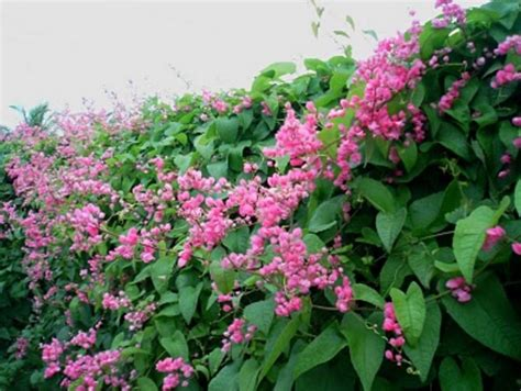 bunga air mata pengantin sebagai bunga rambat bibitbunga com