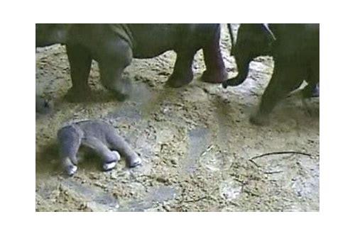 baixar de video de nascimento de elefante