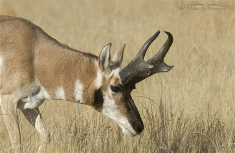pronghorn sheds horn sheath growth in pronghorns mcpherson s on the