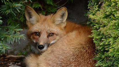 Fox Furry Sitting Bushes Wolf Opinion Google