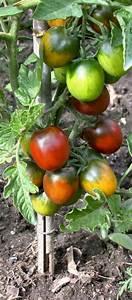 Plant Tomate Cerise : tomates cerise bio plants demeter bioling vente en ~ Melissatoandfro.com Idées de Décoration
