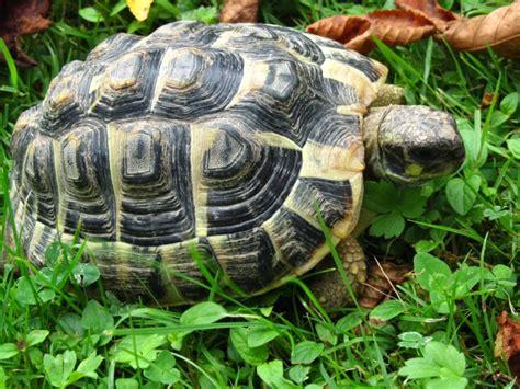 tortue terrestre information sur les tortues de terre page 1