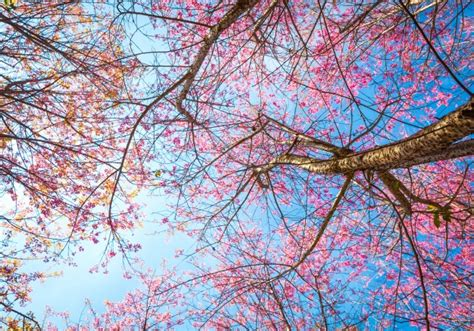 alberi con fiori rosa vista dal basso di albero con fiori rosa scaricare foto