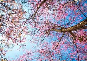 Rosa Blüten Baum : ansicht von unten baum mit rosa bl ten download der kostenlosen fotos ~ Yasmunasinghe.com Haus und Dekorationen