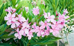 Oleander Poisoning In Dogs