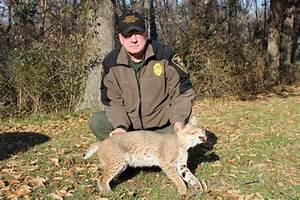 DNR Bobcat Sightings On The Rise Around Indiana Dubois