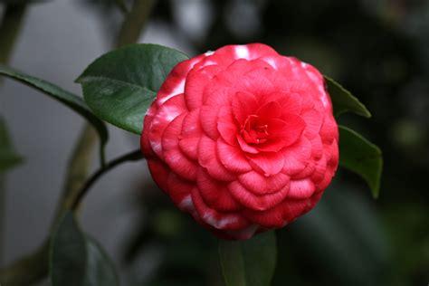 Gambar : menanam daun bunga merah botani Flora bunga
