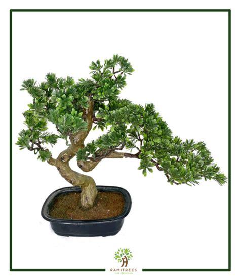 ต้นบอนไซญี่ปุ่น 45cm (RBS002) - RAMITREES (รมิทรี)
