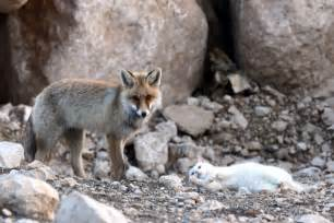 is a fox a or cat unlikely friendship cat and fox 10 pics amazing creatures