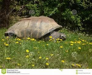 Giant Galapagos Tortoise Royalty Free Stock Photo Image