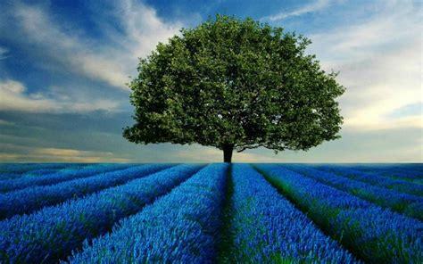 Blue Tree Wallpaper by Tree Blue Fields Wallpapers Tree Blue Fields Stock