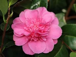 Japanische Pflanzen Winterhart : japanische kamelie 39 debbie 39 rosa camellia japonica ~ Michelbontemps.com Haus und Dekorationen