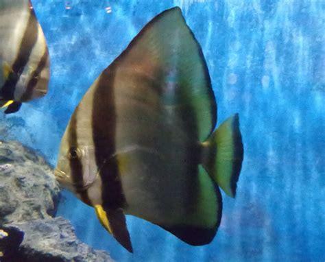 ปลาหูช้าง หรือปลาค้างคาว - สถานแสดงพันธุ์สัตว์น้ำ ภูเก็ต