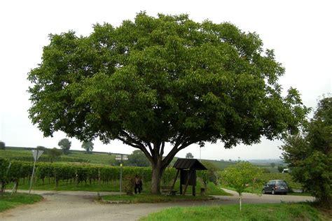 schnell wachsender baum mit breiter krone walnuss idealer hausbaum gartentechnik de