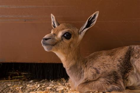 gazelle calf speke spekes tiny vets keepers endangered zoo oregon save zookeepers rally baby into vet staff inattentive rescue springs