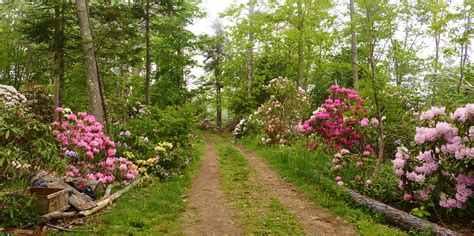 rhododendron when to plant how to grow rhododendrons that thrive eastern plant
