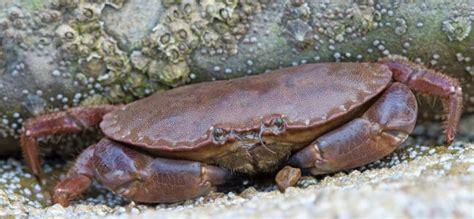 cuisiner crabe cuisiner le tourteau technique de pêche