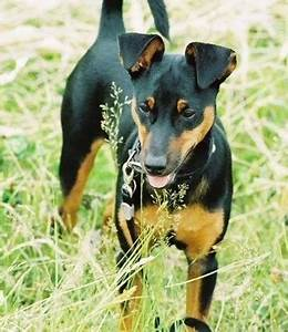 Manchester Terrier Dog Breed Information and Pictures