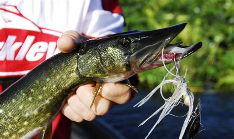 pickerel chain florida fishing baits fish lures spinner lakes seem strike quick they