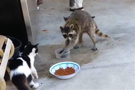 white wolf raccoon steals cats food    great