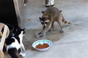 White Wolf : Raccoon Steals Cats' Food And Makes A Great ...