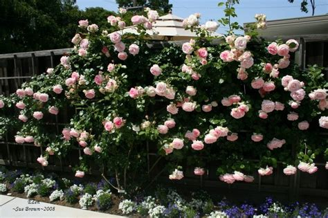 Plantfiles Pictures Large Flowered Climbing Rose 'eden