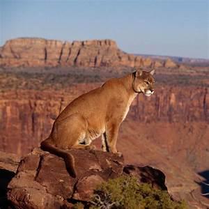 mountain lion hd - HD Desktop Wallpapers | 4k HD