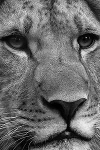 Black and White Lion Wallpaper for iPhone 4