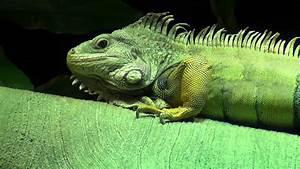 Green Iguana - YouTube