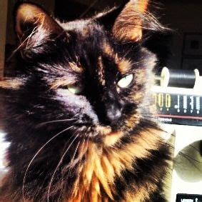 non shedding cats 25 best ideas about non shedding cats on non