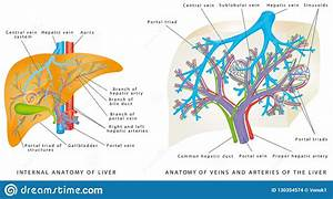 Liver Circulatory System  Stock Vector  Illustration Of Portal