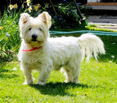 Best 50 Small Dog Breeds For Apartments Platpets