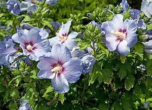 Gartenhibiskus Vermehren Stecklinge : hibiskus blumen im garten pflanzen wann schneiden ~ Lizthompson.info Haus und Dekorationen