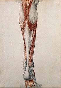 File Muscles And Tendons Of The Lower Leg And Foot  Seen