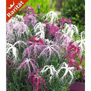 Winterharte Pflanzen Liste : dianthus 39 dancing geisha 39 3 pflanzen baldur garten gmbh garten balkon ~ Eleganceandgraceweddings.com Haus und Dekorationen