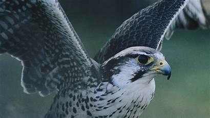 Hawk Bird Wallpapers 4k Wings Backgrounds Cave