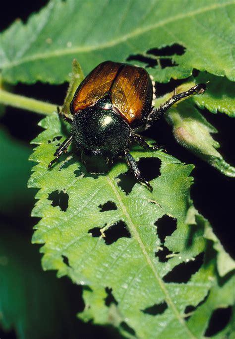 Japanese Beetles  How To Control, Kill, & Get Rid Of