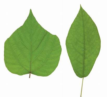 Leaves Leaf Background Transparent Without Plant Plants
