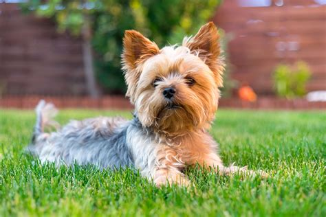 yorkshire terrier steckbrief charakter wesen haltung