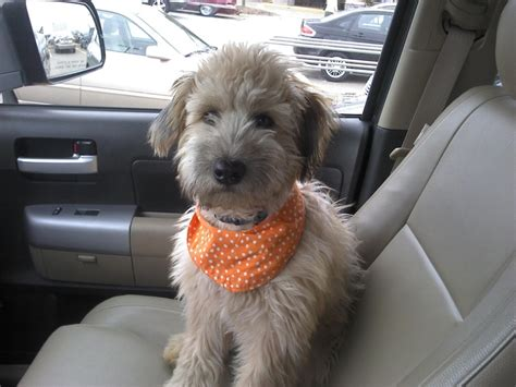 do wheaten terrier puppies shed whoodle wheaten terrier poodle mix info temperament