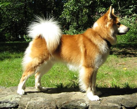icelandic sheepdog pictures wallpapers