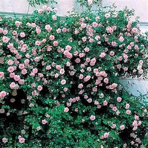 Kletterrose New Dawn : rose new dawn im 5 liter topf von g rtner p tschke ~ Michelbontemps.com Haus und Dekorationen