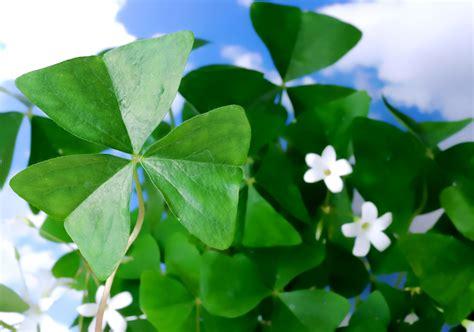clover plant shamrock plant oxalis houseplant care tips houseplant411 com houseplant 411 how to
