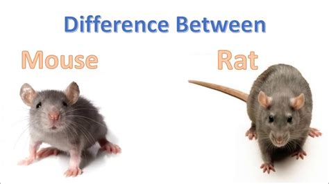 mice vs rats difference between mouse and rat rat vs mouse comparison youtube